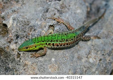 green lizard on stone - stock photo