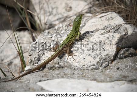 Green lizard or so called Italian wall lizard or ruin lizard (Podarcis Sicula) on the rocks next to the sea. In Croatia.  - stock photo