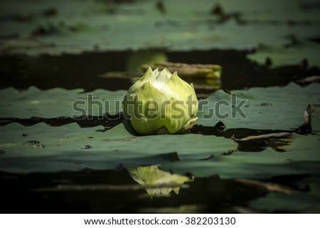 Green lotus flower magnolia lotus album stock photo image royalty green lotus flower magnolia lotus album plenum scientific name nelumbo nueifera mightylinksfo