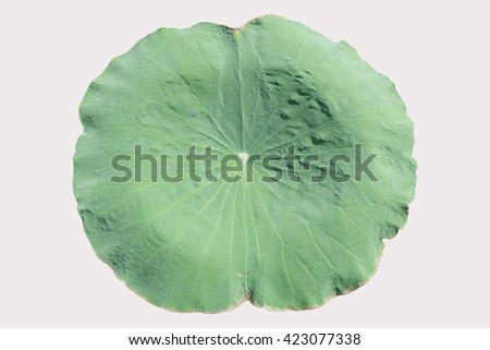 Green lotus leaf, isolated on white background.