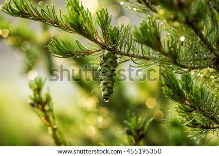Green lush spruce branch. Fir branches. Spruce background.Coniferous forest. Background with bright spruce branches. Spruce branches in drops of rain. Sunlight. Drops of dew on the branches - stock photo