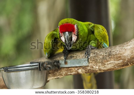Green macaw sitting on the branch and observing surroundings and looks ahead. On the branch's food bowl - stock photo