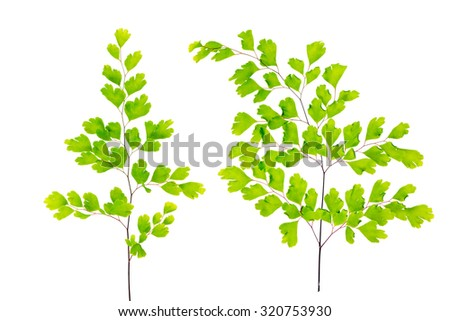 green maidenhair fern leaves is isolated on white background - stock photo