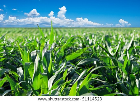 Green maize field with dramatic sky - stock photo
