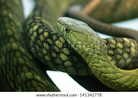 Green mamba - stock photo