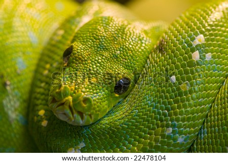 green mamba 2 - stock photo
