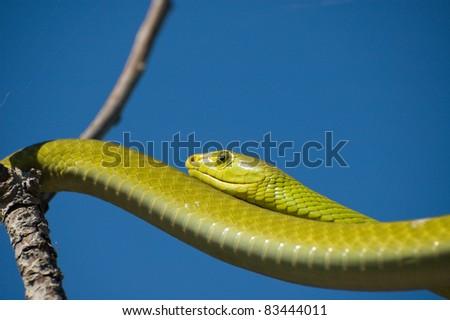 Green Mamba - stock photo