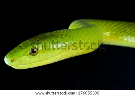 Green mamba / Dendroaspis angusticeps - stock photo