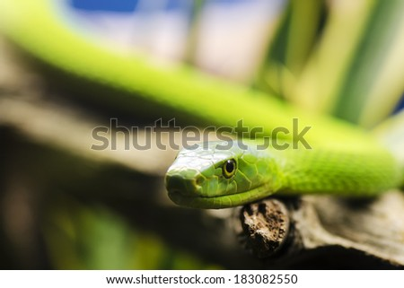 Green mamba. Dendroaspis angusticeps - stock photo