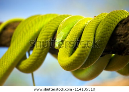 Green Mamba (Dendroaspis) poisonous arboreal snake coiled up on a branch. - stock photo