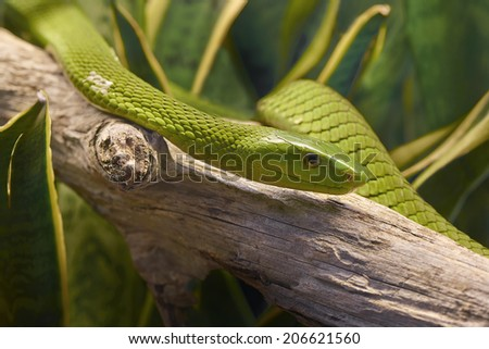 Green mamba snake. Dendroaspis angusticeps - stock photo