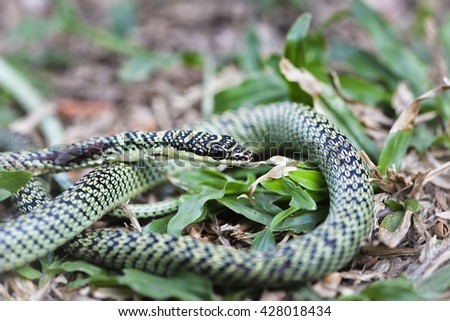 Green Mamba snake (Dendroaspis angusticeps),Venomous green viper close-up portrait  - stock photo