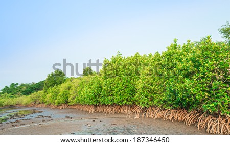 Green mangrove forest  at low tide  - stock photo