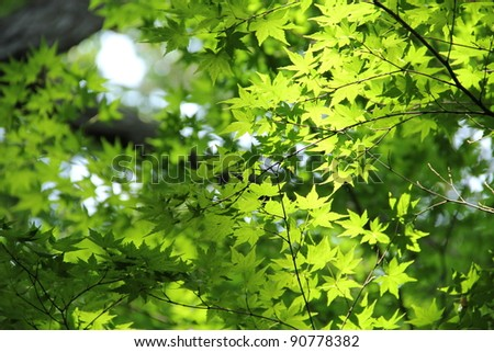 Green Maple - stock photo