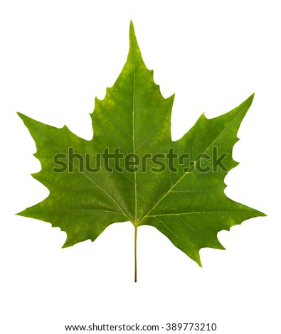 Green maple leaf - stock photo
