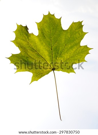 Green maple leaf against the sky close up - stock photo