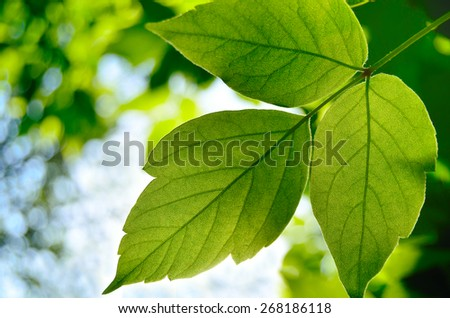 green maple leaf in the summer sun