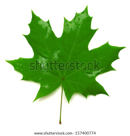Green maple leaf isolated on white background - stock photo