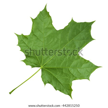 Green Maple Leaf isolated on white background. Clipping path included. - stock photo