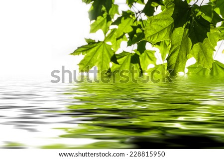 Green maple leaf on white background reflected in water - stock photo