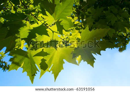 Green maple leafe  in sunny day on blue sky fone. Gold autumn. - stock photo
