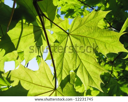 green maple leaves and branch