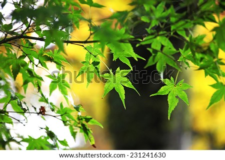Green maple leaves in fall - stock photo