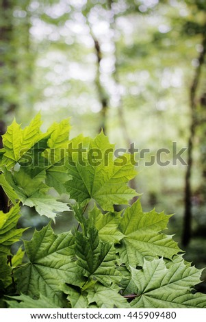 Green maple leaves in spring forest, Acer platanoides - stock photo