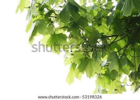 Green maple leaves on a white background.