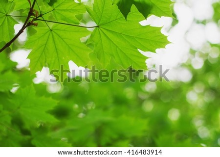 green maple leaves. selective focus. close-up