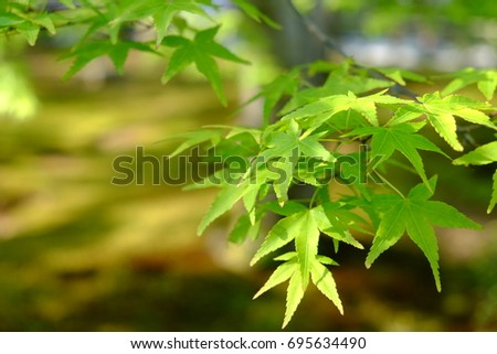 Green maple leaves with sunlight in the afternoon, one leaf has 5 lobes. In the garden at springtime.