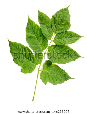 Green Maple tree (cultivar) leaves isolated on white background