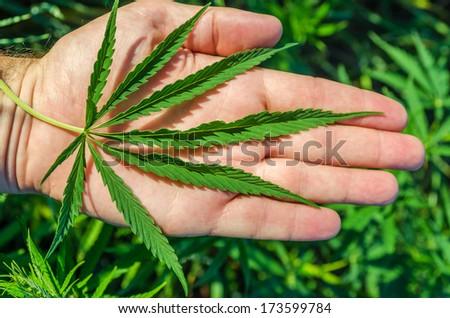 green marijuana in hand - stock photo