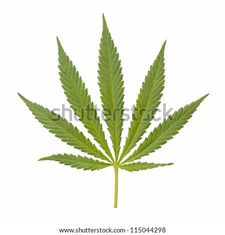 Green Marijuana Leaf. Isolated on white background
