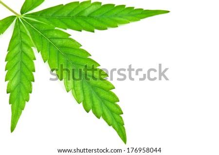 green marijuana leaf on white - stock photo