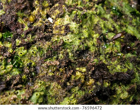 green marine sponge in the rocky intertidal of the pacific northwest - stock photo