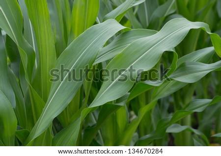 green mass of corn - stock photo