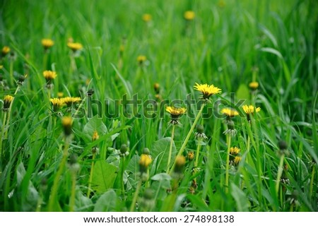 Green Meadow with Dandelion Flowers - stock photo