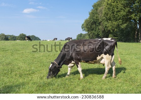 green meadow with grazing black frisian cows  - stock photo