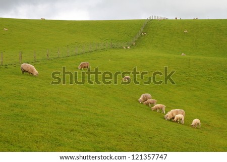 Green meadows with sheep grazing in a beautiful area of Catlins, New Zealand