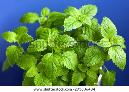 Green Melissa in a pot on blurred background - stock photo