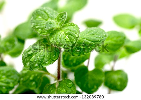 green mint leaves with water drops - stock photo