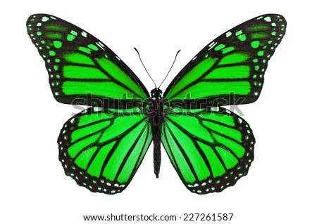 Green monarch butterfly isolated on white background.
