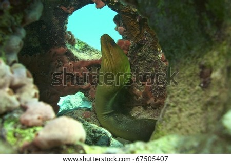Green moray - stock photo