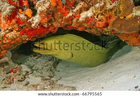 Green Moray (Gymnothorax funebris) in Cozumel, Mexico - stock photo