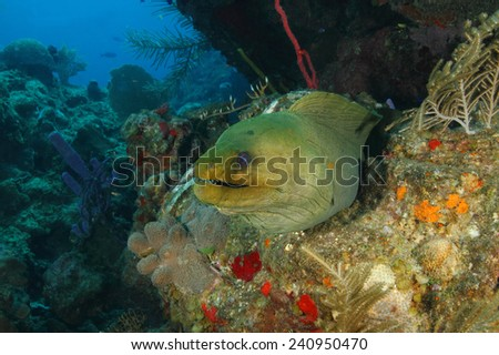 Green Moray (Gymnothorax funebris) on a Coral Reef - Roatan, Honduras - stock photo