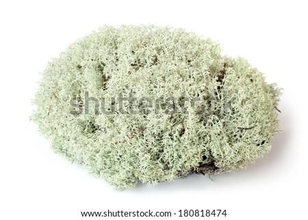 Green moss (Cladonia rangiferina) on white bakground - stock photo