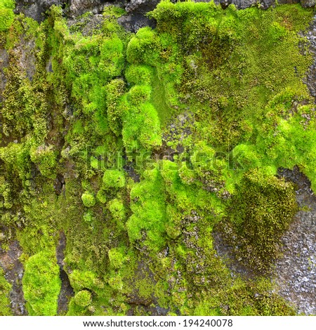green moss on the wall texture background