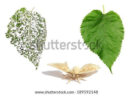 Green Mulberry leaf, butterfly of silk moth and leaf of a mulberry ...
