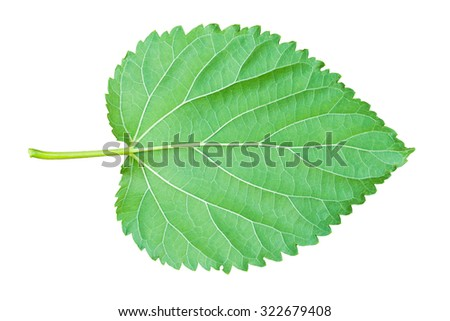 Green Mulberry leaf. Isolated on a white with Clipping path - stock photo